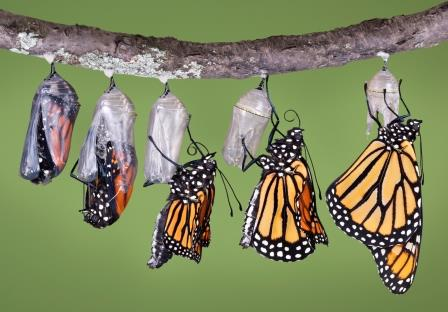 transformation from caterpiller to monarch butterfly